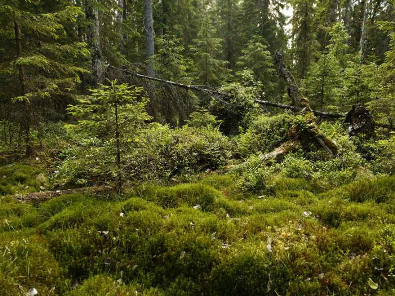 Finland's ability to utilise its forest resources would be limited under new accounting rules for land use, land-use change and forestry (LULUCF) unveiled by the European Parliament's ENVI Committee.