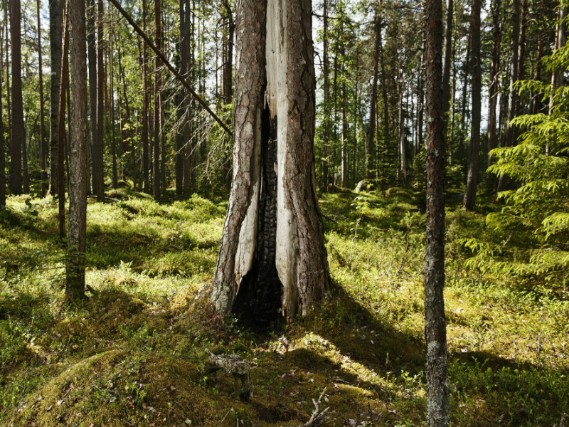 Finland's ability to use its forest resources would have been limited considerably by the new accounting rules proposed by the European Commission.