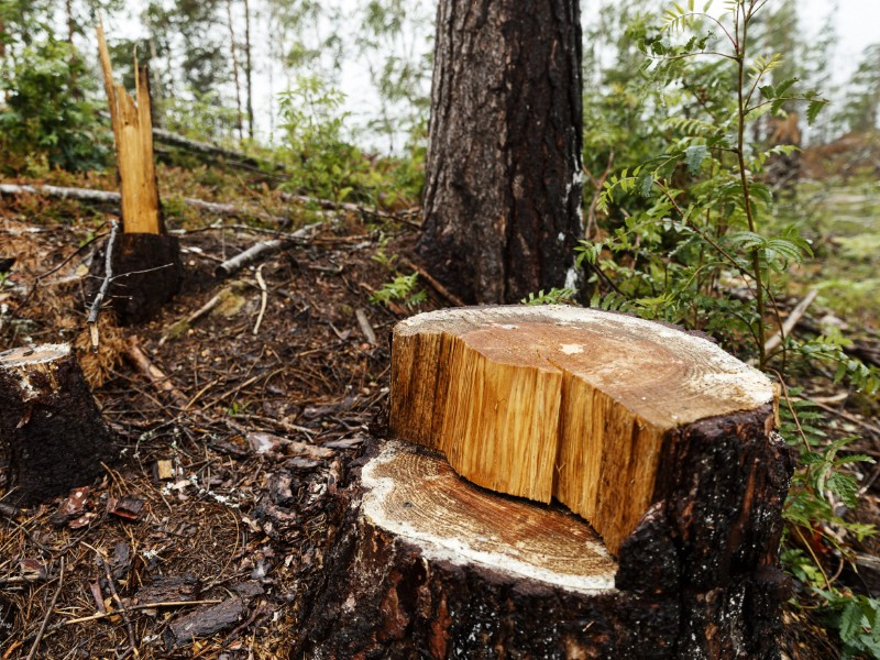 The stump of a felled tree in a logging area in Raasepori, Southern Finland, on 3 July 2018. (Roni Rekomaa – Lehtikuva)
