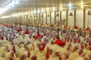 Turkeys stand in a farm operated by Eurodon. The company expects to sell 2.8 million birds, helping to secure a steady supply of meat for Russia.