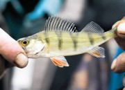 Study: Residue of psychoactive drugs in water also treat perch