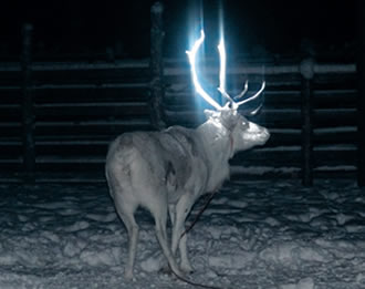 Finnish herders dab reindeer antlers with fluorescent paint in latest attempt at halting thousands of road deaths of the roaming caribou in the wilds of Finland's Lapland.