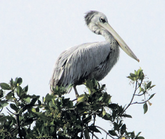 Pelicans can be spotted among the various birds.
