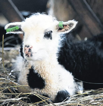 A photo search with lamb yields pictures of both baby animals and portions.