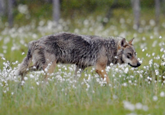The wolf population in Finland has halved to 140—155 in less than ten years, according to the Finnish Game and Fisheries Research Institute.