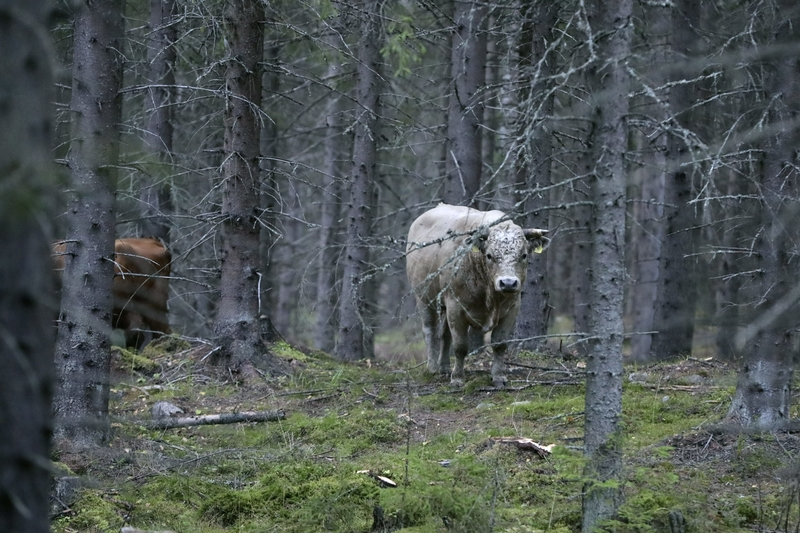 A snap of one of the escaped cows earlier today (Image: Lehtikuva)