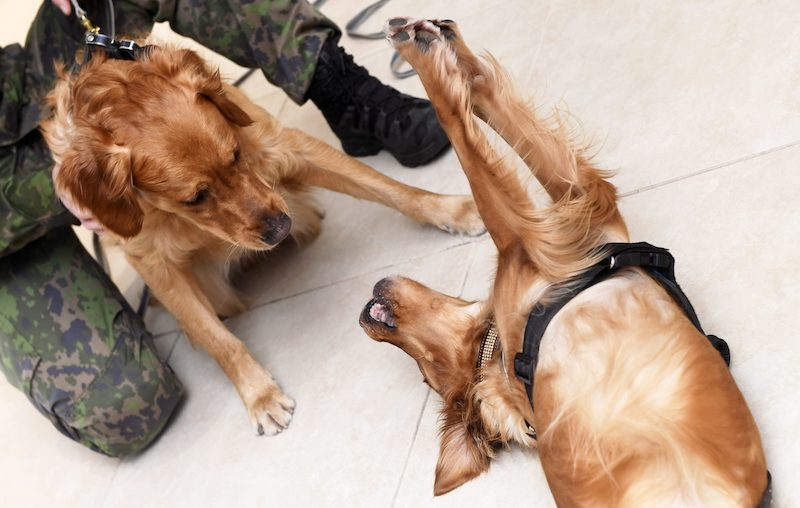 War Dog of the Year Lex (left) has a playful moment with Customs Dog of the Year Aino (right).