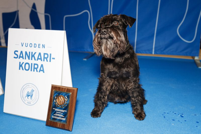 Maya the Miniature Schnauzer receives a Hero Dog Award for lifesaving services.
