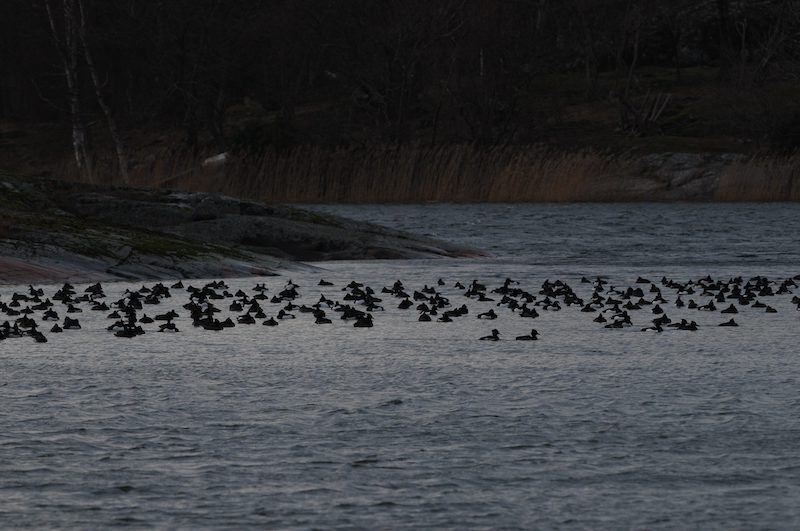 A flock of waterfowl in Åland. Warmer winters are causing greater numbers of bird species to spend winter in Finland.