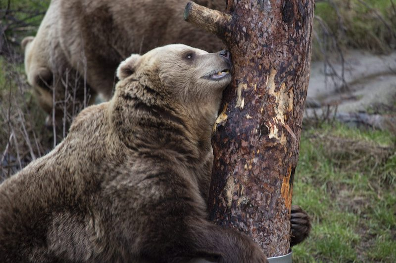 Two female bears at Korkeasaari Zoo emerge from winter hibernation earlier today (Image: Lehtikuva)