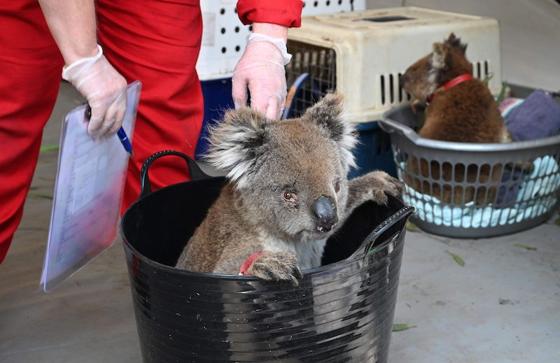 A koala awaits treatment for burn injuries at a makeshift field hospital on Kangaroo Island, Australia (Image: Lehtikuva)