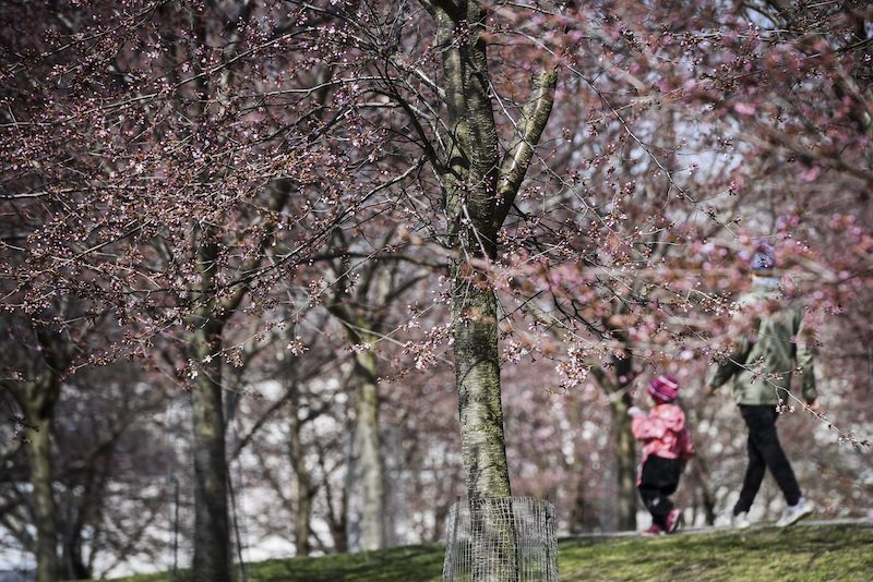 Cherry blossoms in bloom in Roihuvuori (Image: Lehtikuva)