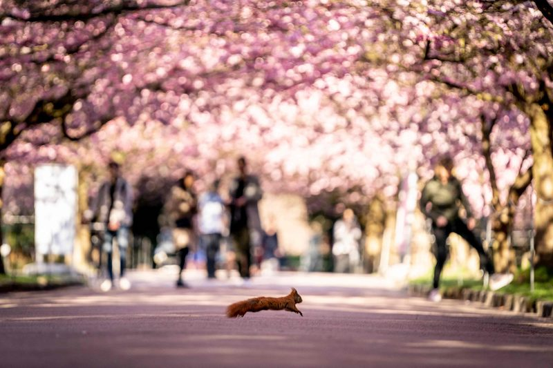 A squirrel crosses the Cherry Alley at Bispebjerg Cemetery in Copenhagen as it blooms on a sunny April 20, 2021. LEHTIKUVA / AFP