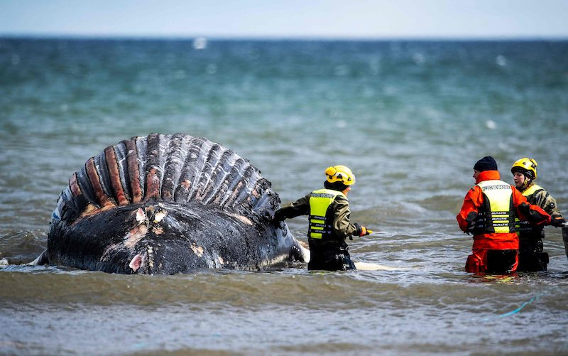 Personnel from the National Veterinary Institute (SVA) examine and take samples from a stranded humpback whale on the south eastern shores of the island Oeland in the Baltic sea, in Sweden, April 23, 2021. LEHTIKUVA / AFP